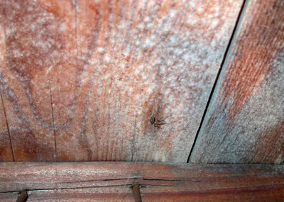 White Mould On Roof Timbers Roof Mould How To Cure And